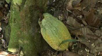 Video: Fairtrade-Kakao aus der Dominikanischen Republik