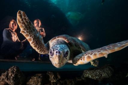 Meeresschildkröte im MEERESMUSEUM Stralsund (Foto: Uli Kunz)