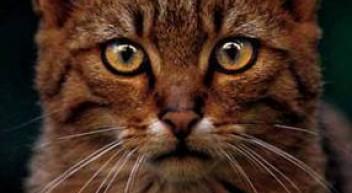 Auf leisen Pfoten durch unsere Wälder – Wildkatzen