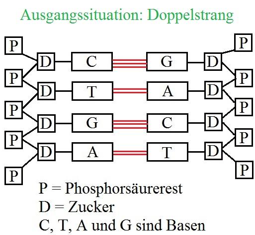 dna-replikation-ausgangssituation